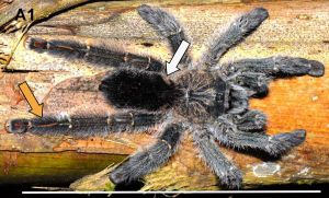 c_300_0_16777215_0___images_stories_article2_avicularia_diversipes.jpg