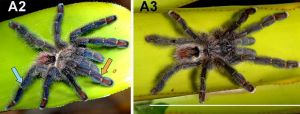 c_300_0_16777215_0___images_stories_article2_avicularia_diversipes2.jpg