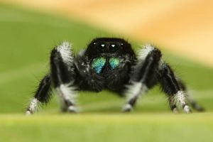Phidippus regius Male (Photo by Vladimir Hula)
