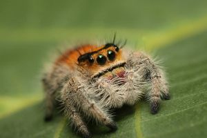 Phidippus regius Female (Photo by Vladimir Hula)
