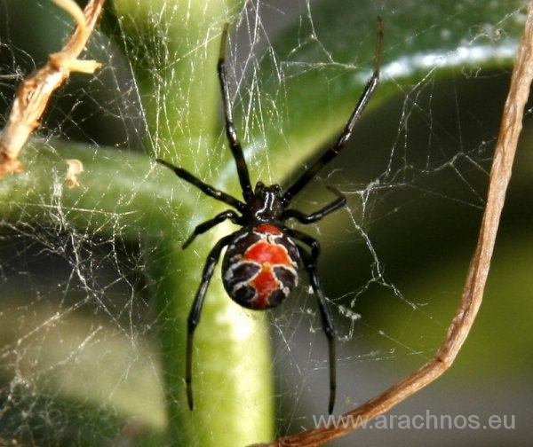 Latrodectus mirabilis subadult female.jpg