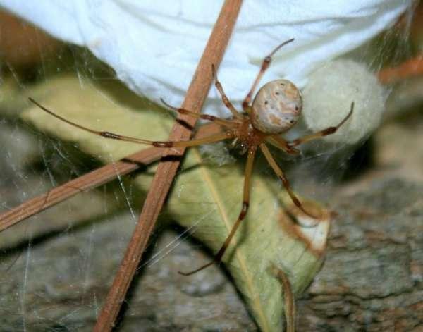 Latrodectus geometricus - kosmopolitní druh snovaček
