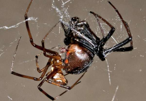Hazardous courtship of the genus Latrodectus