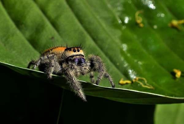 Phidippus regius polodospělá samice