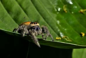 Phiddipus regius: the Jewel between Spider Predators