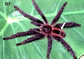 Description of two new species of Avicularia and redescription of Avicularia diversipes